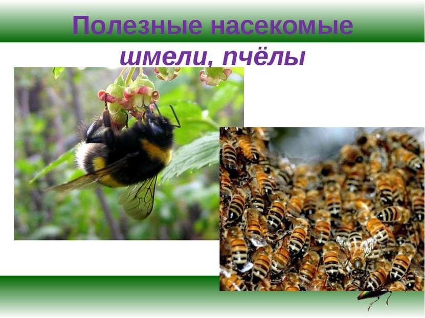 Полезные насекомые шмели, пчёлы