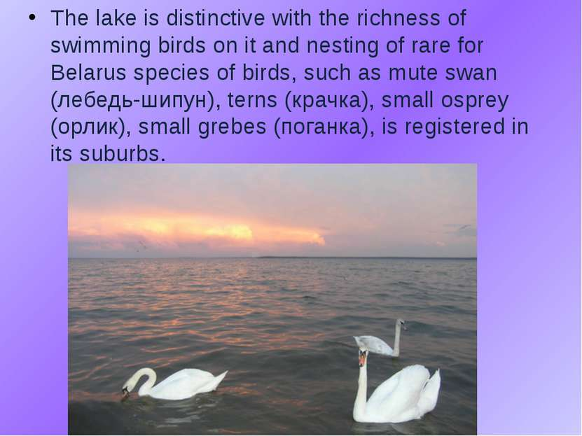 The lake is distinctive with the richness of swimming birds on it and nesting...