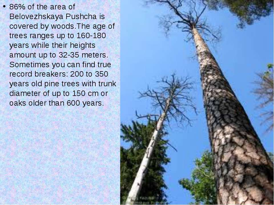 86% of the area of Belovezhskaya Pushcha is covered by woods.The age of trees...