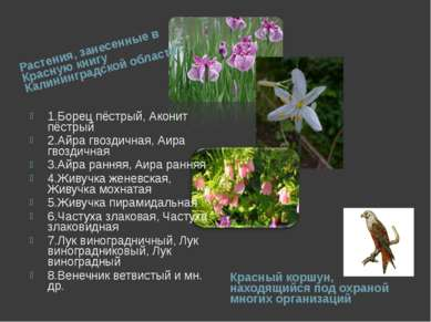 Растения, занесенные в Красную книгу Калининградской области: Красный коршун,...