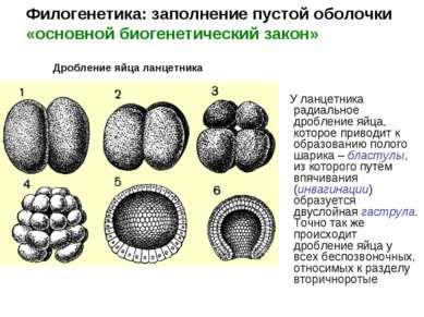 У ланцетника радиальное дробление яйца, которое приводит к образованию полого...