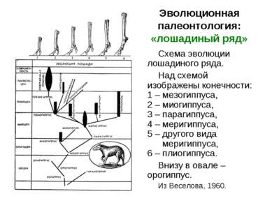 Эволюционная палеонтология: «лошадиный ряд» Схема эволюции лошадиного ряда. Н...