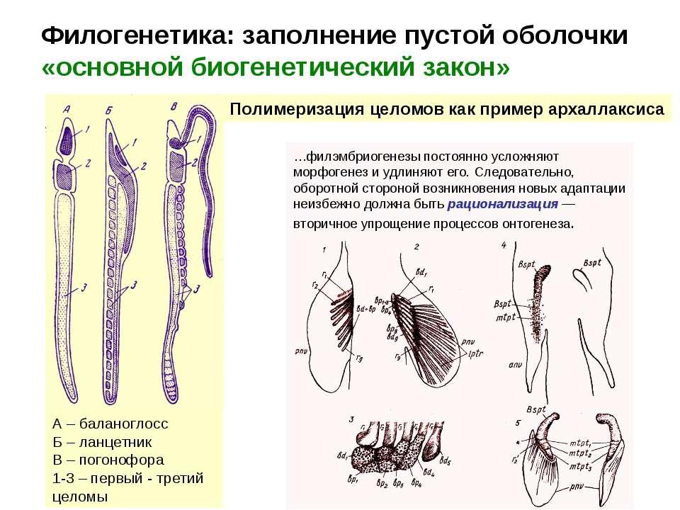 Филогенетика: заполнение пустой оболочки «основной биогенетический закон» Пол...