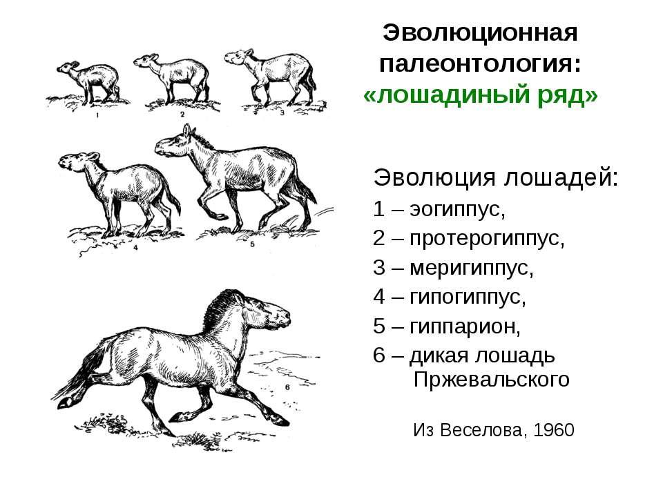 Эволюционная палеонтология: «лошадиный ряд» Эволюция лошадей: 1 – эогиппус, 2...
