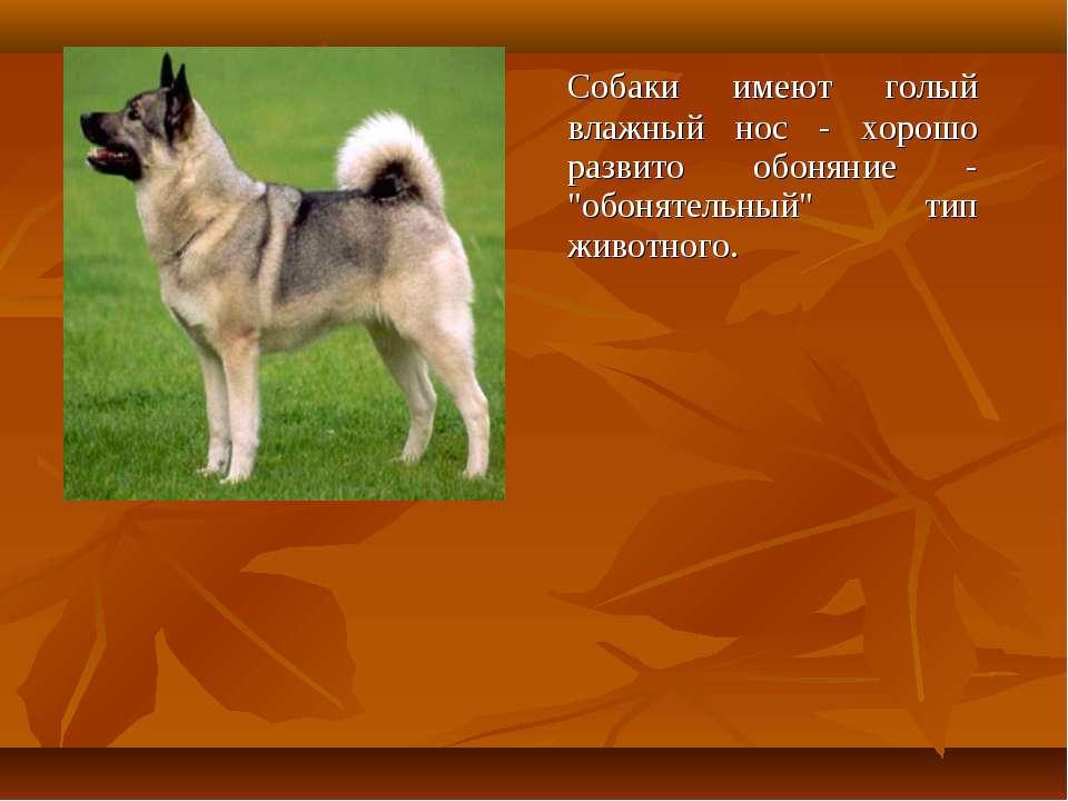"""Собаки имеют голый влажный нос - хорошо развито обоняние - """"обонятельный"""" тип..."""