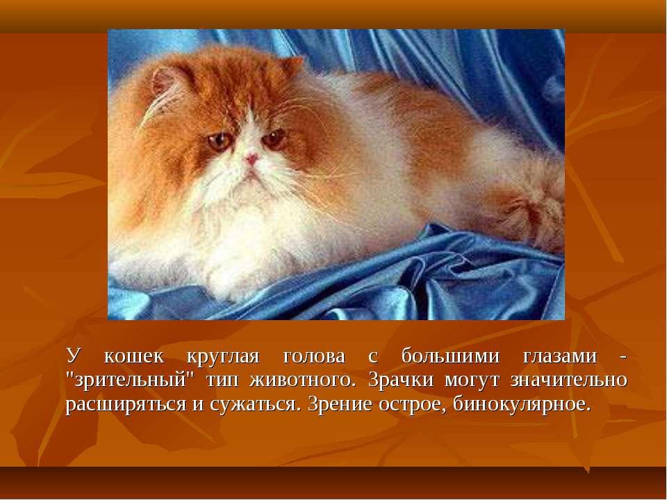 """У кошек круглая голова с большими глазами - """"зрительный"""" тип животного. Зрачк..."""