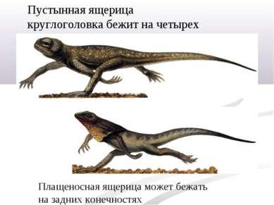 Пустынная ящерица круглоголовка бежит начетырех ногах. Плащеносная ящерица м...