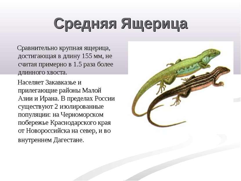 Средняя Ящерица Сравнительно крупная ящерица, достигающая в длину 155 мм, не ...