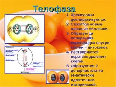 Телофаза Хромосомы деспирализуются. Строятся новые ядерные оболочки. Образует...