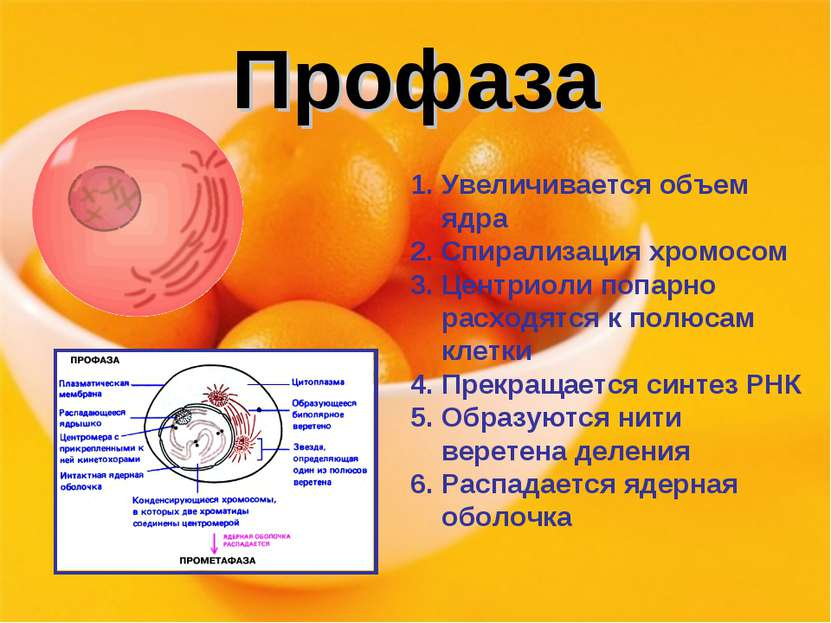 Профаза Увеличивается объем ядра Спирализация хромосом Центриоли попарно расх...