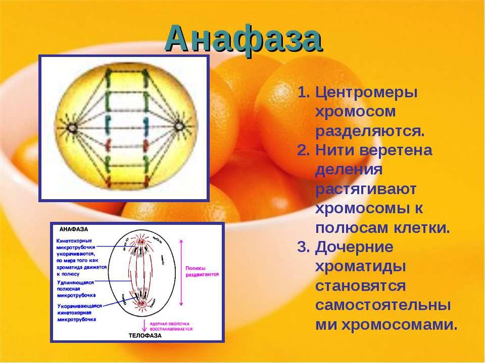 Анафаза Центромеры хромосом разделяются. Нити веретена деления растягивают хр...