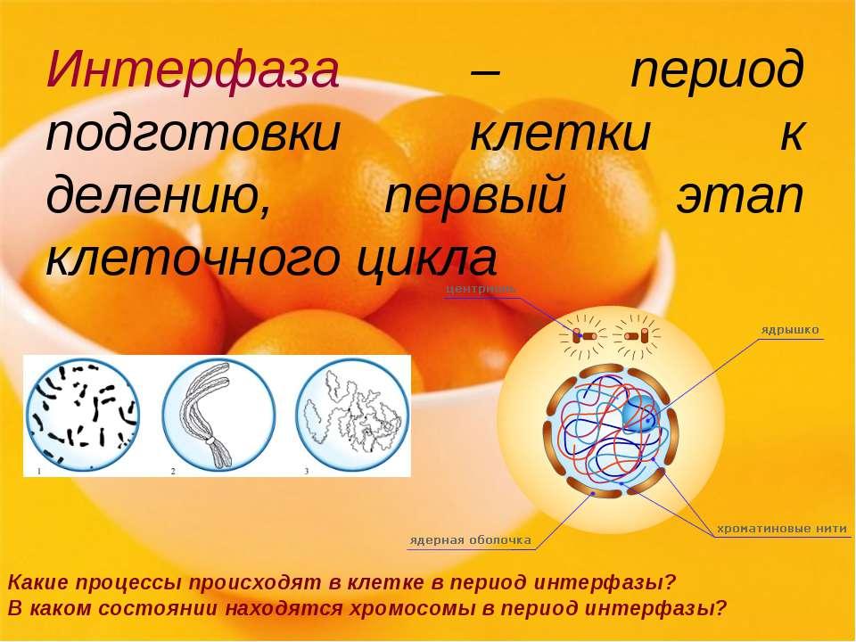 Интерфаза – период подготовки клетки к делению, первый этап клеточного цикла ...