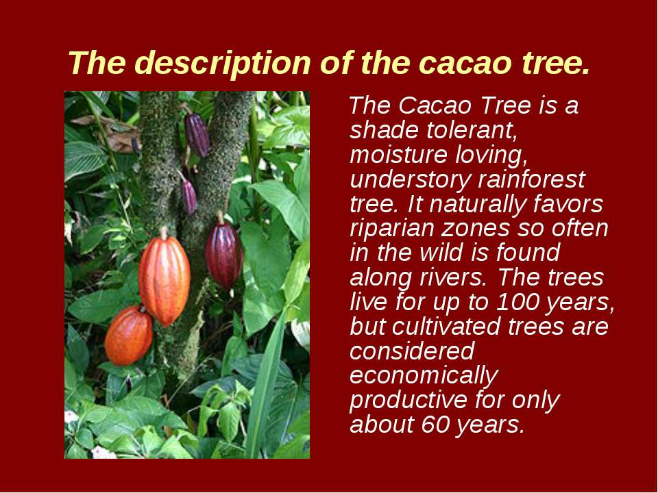 The description of the cacao tree. The Cacao Tree is a shade tolerant, moistu...