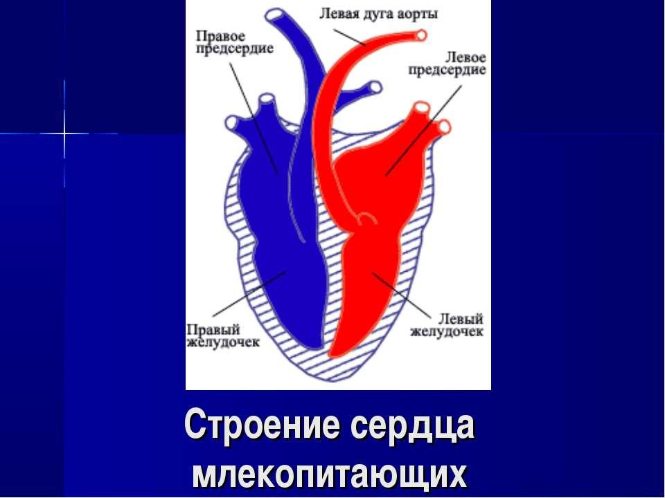 Строение сердца млекопитающих
