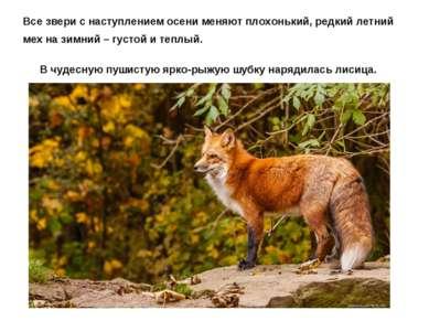 Все звери с наступлением осени меняют плохонький, редкий летний мех на зимний...
