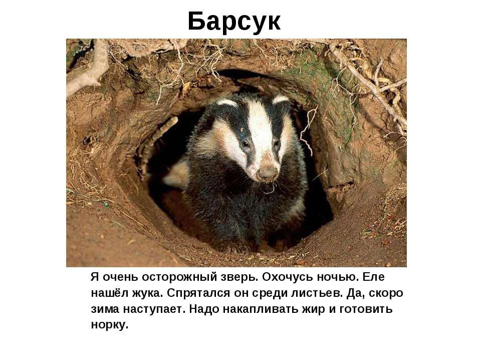 Барсук Я очень осторожный зверь. Охочусь ночью. Еле нашёл жука. Спрятался он ...