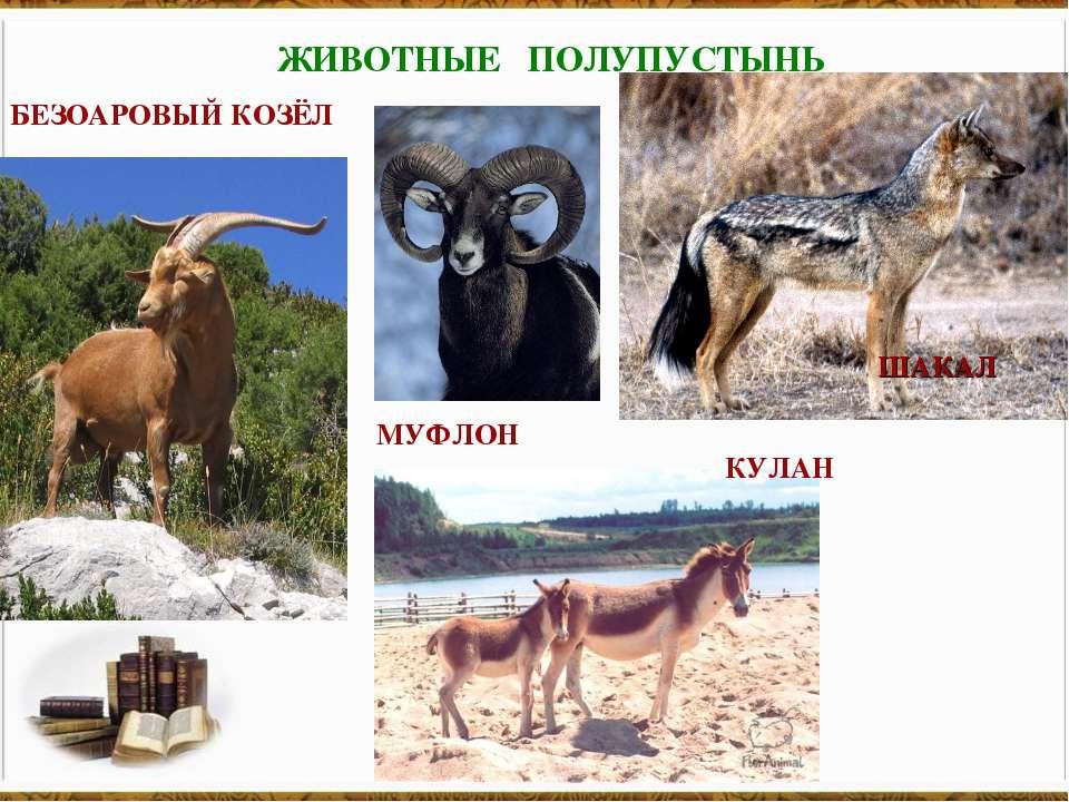 ЖИВОТНЫЕ ПОЛУПУСТЫНЬ БЕЗОАРОВЫЙ КОЗЁЛ МУФЛОН КУЛАН ШАКАЛ
