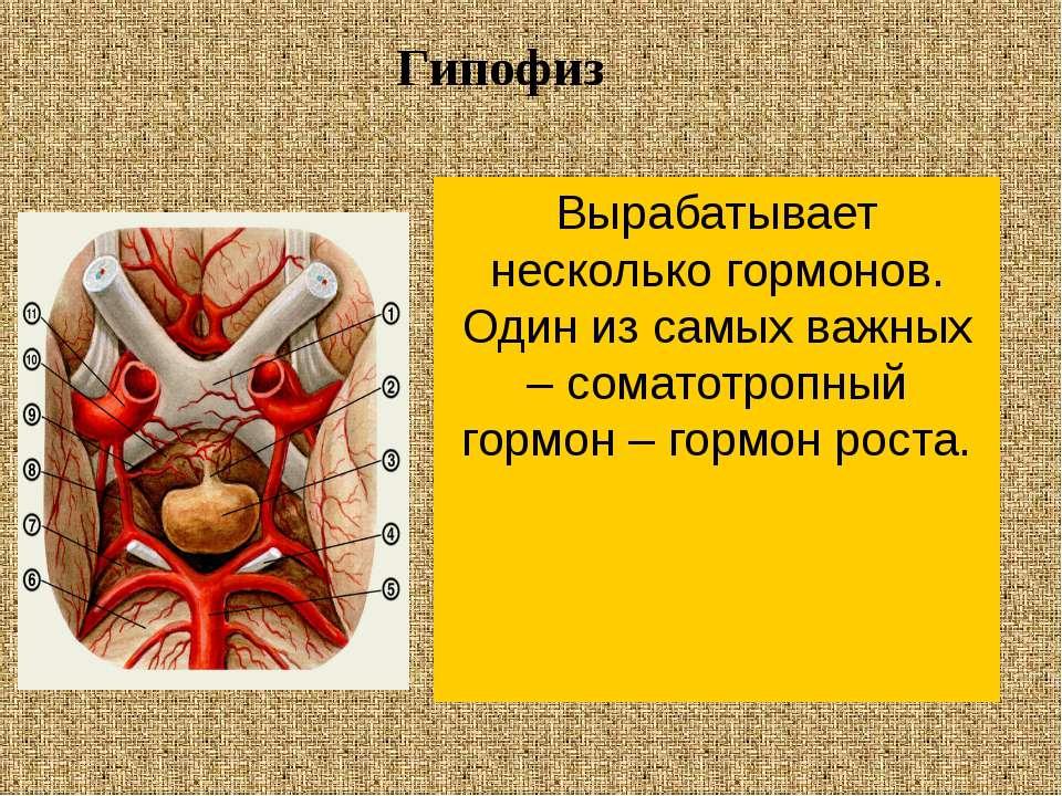Вырабатывает несколько гормонов. Один из самых важных – соматотропный гормон ...