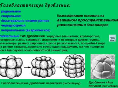 Голобластическое дробление: радиальное спиральное билатерально-симметричное ч...