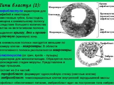 Бластоциста (от греч. kystis – пузырь) характерна для млекопитающих. Образует...