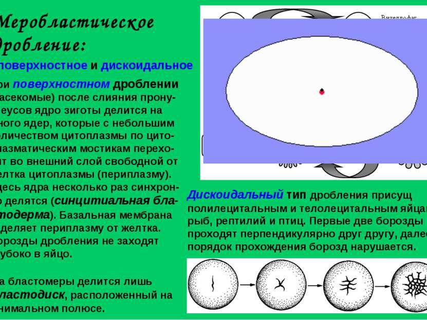 Меробластическое дробление: поверхностное и дискоидальное При поверхностном д...