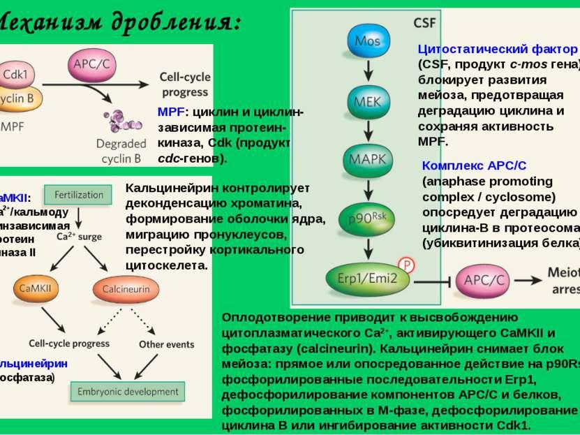 Механизм дробления: Цитостатический фактор (CSF, продукт с-mos гена) блокируе...