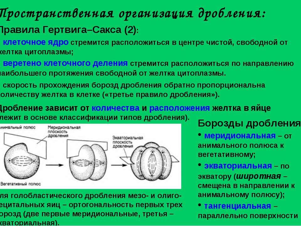 Пространственная организация дробления: Правила Гертвига–Сакса (2): клеточное...