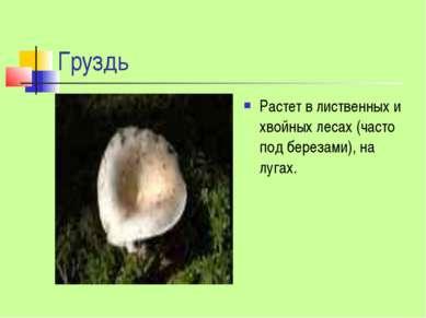 Груздь Растет в лиственных и хвойных лесах (часто под березами), на лугах.