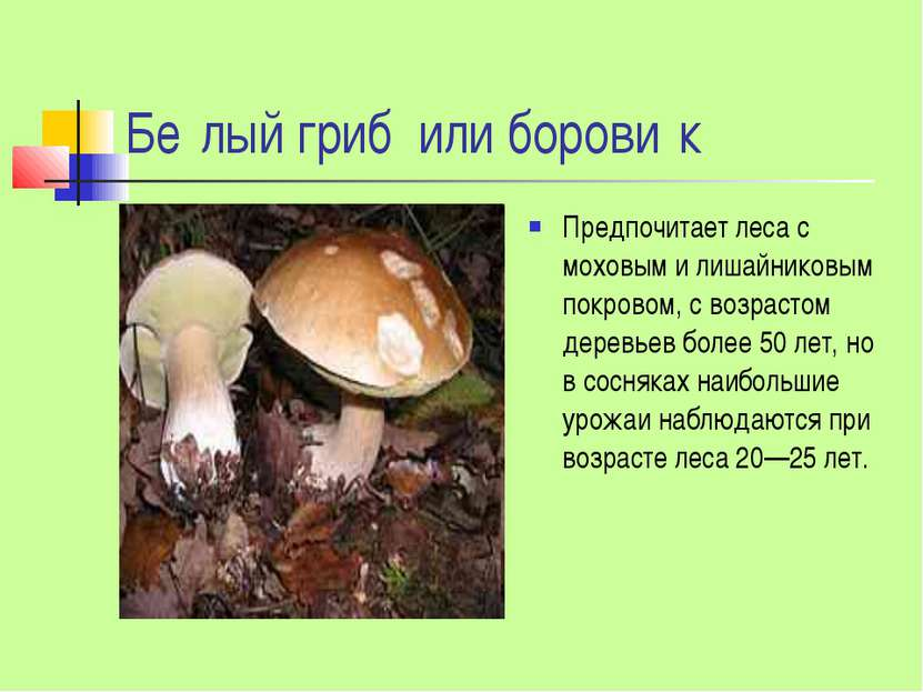 Бе лый гриб или борови к Предпочитает леса с моховым и лишайниковым покровом,...