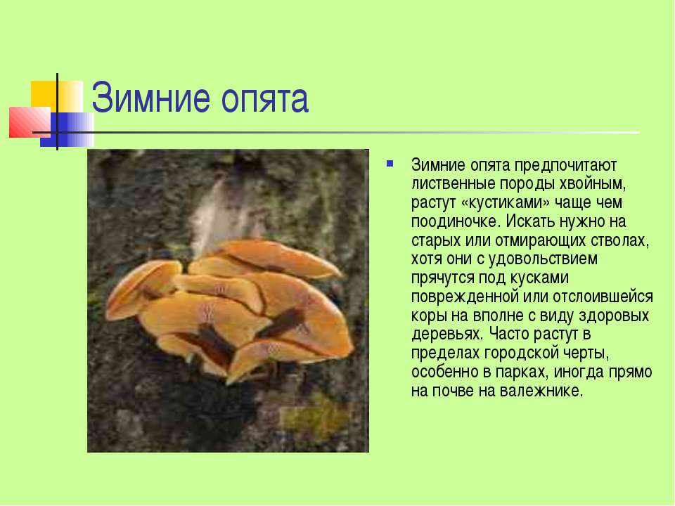 Зимние опята Зимние опята предпочитают лиственные породы хвойным, растут «кус...