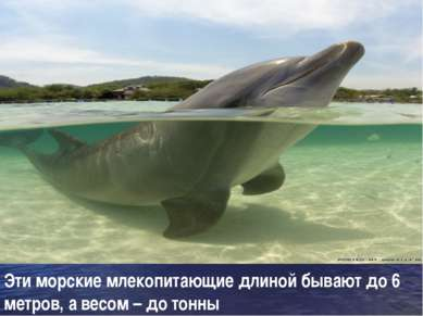 Эти морские млекопитающие длиной бывают до 6 метров, а весом – до тонны