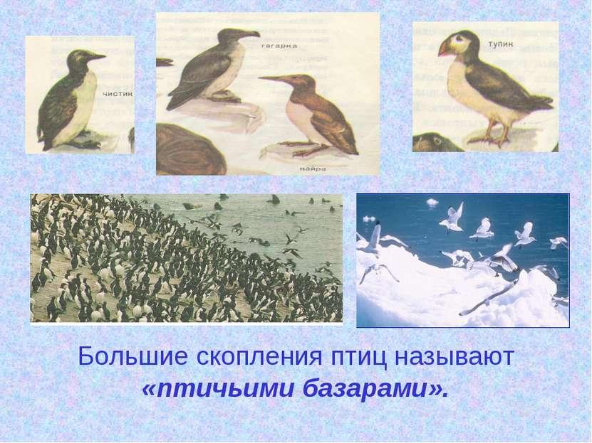 Большие скопления птиц называют «птичьими базарами».