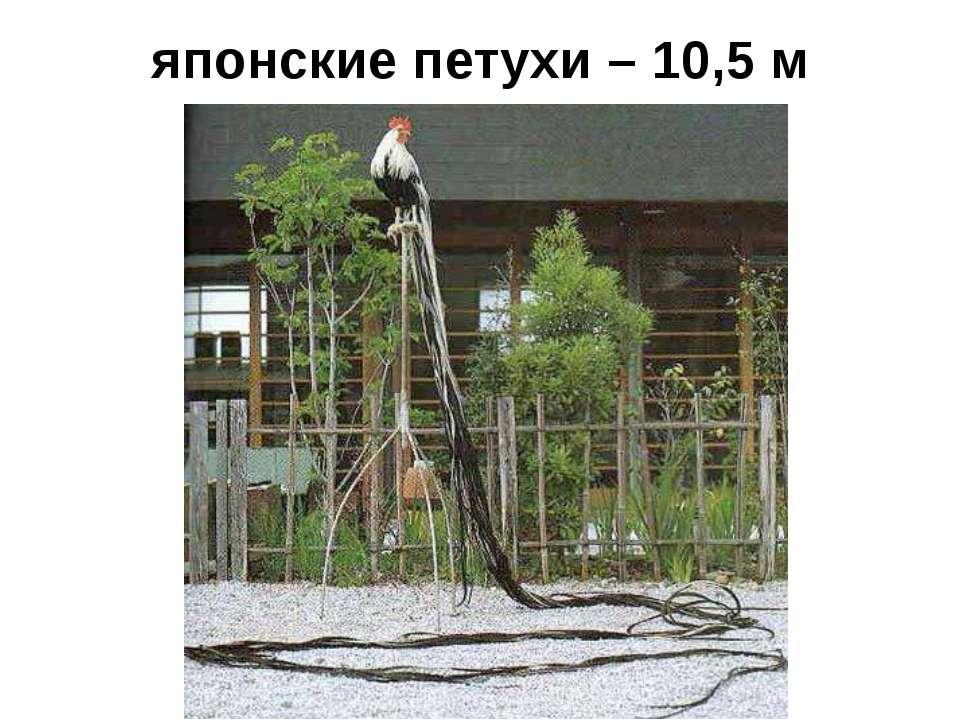 японские петухи – 10,5 м