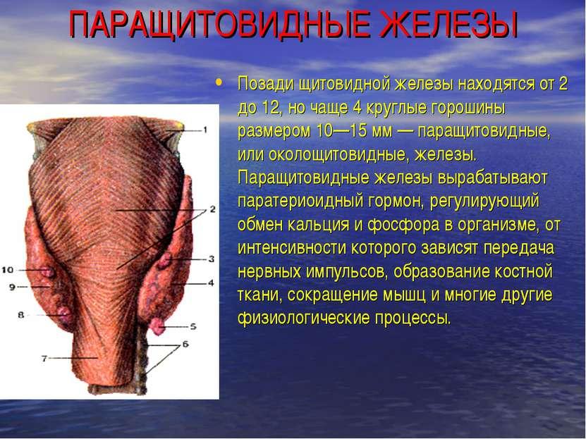 ПАРАЩИТОВИДНЫЕ ЖЕЛЕЗЫ Позади щитовидной железы находятся от 2 до 12, но чаще ...