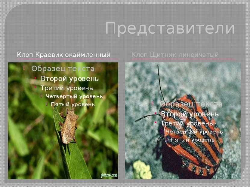 Представители Клоп Краевик окаймленный Клоп Щитник линейчатый