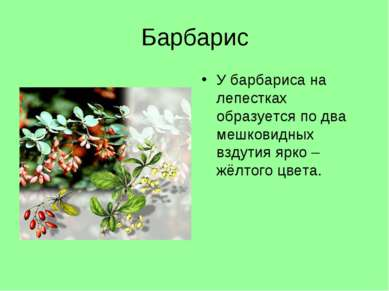Барбарис У барбариса на лепестках образуется по два мешковидных вздутия ярко ...