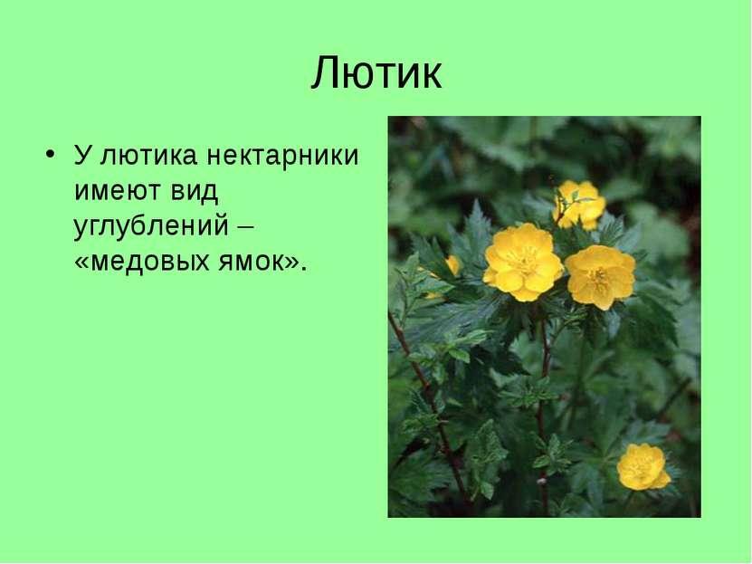 Лютик У лютика нектарники имеют вид углублений – «медовых ямок».