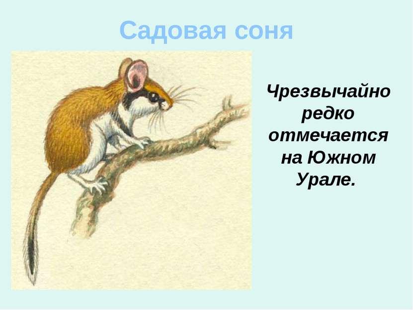 Садовая соня Чрезвычайно редко отмечается на Южном Урале.