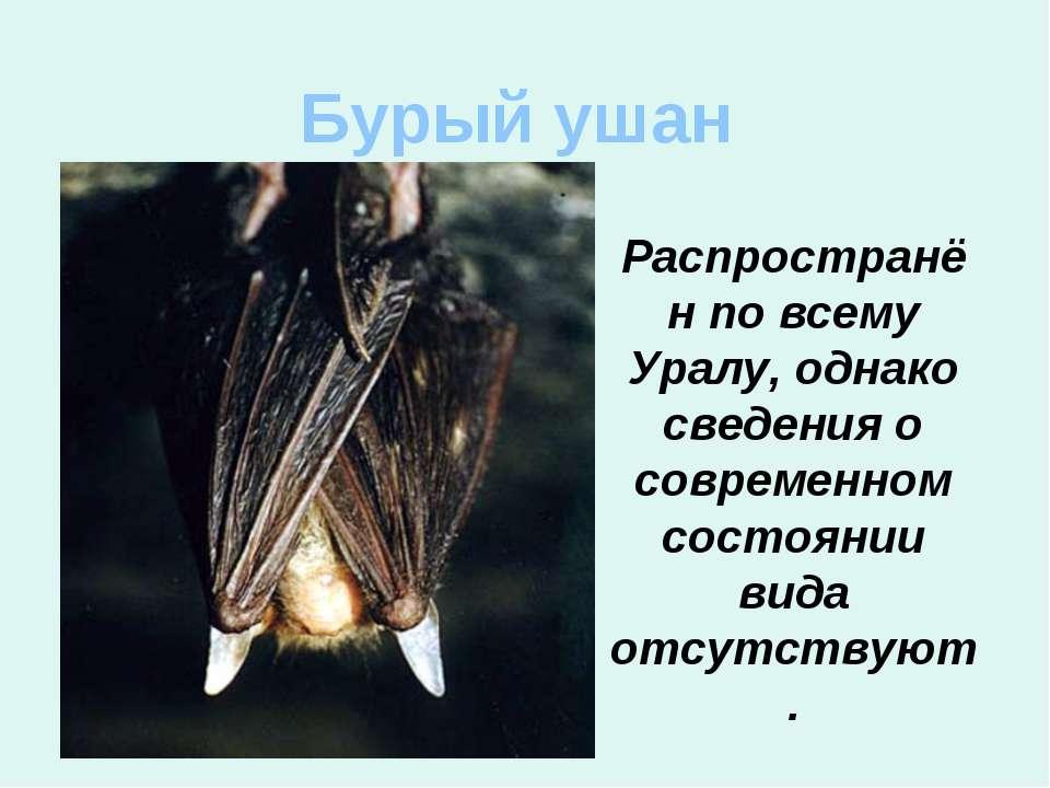 Бурый ушан Распространён по всему Уралу, однако сведения о современном состоя...