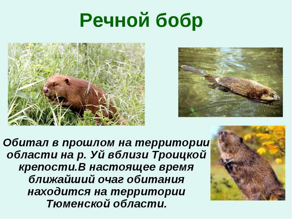 Речной бобр Обитал в прошлом на территории области на р. Уй вблизи Троицкой к...