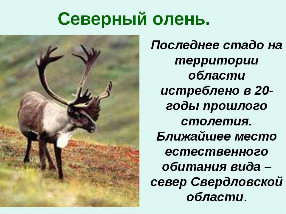 Северный олень. Последнее стадо на территории области истреблено в 20-годы пр...