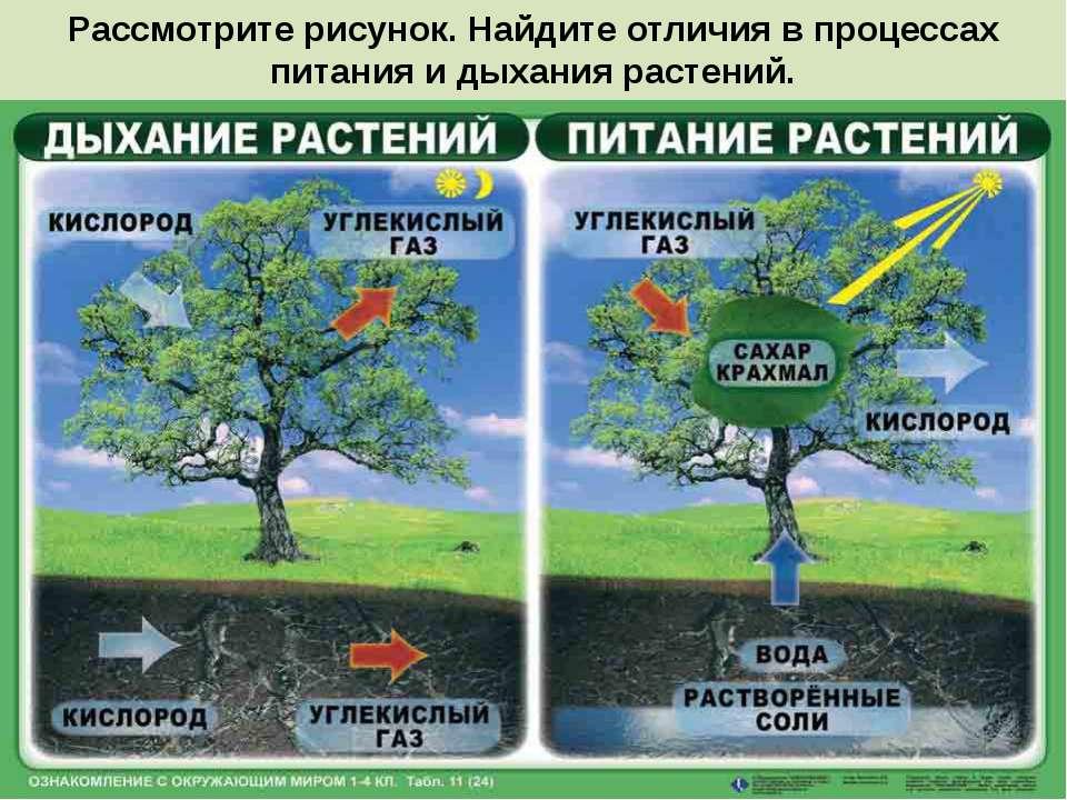 Рассмотрите рисунок. Найдите отличия в процессах питания и дыхания растений.