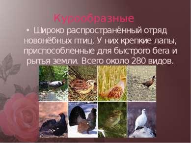 Курообразные Широко распространённый отряд новонёбных птиц. У них крепкие лап...
