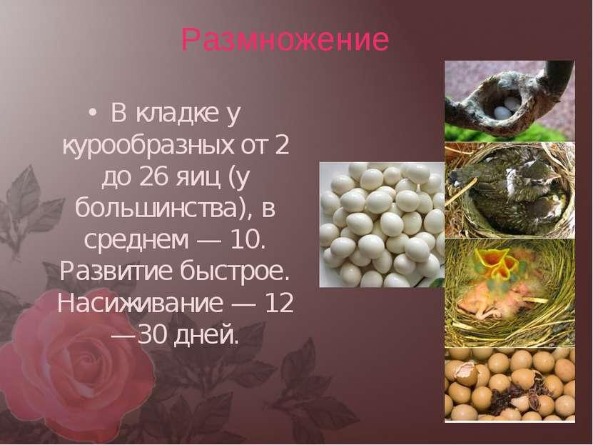 В кладке у курообразных от 2 до 26 яиц (у большинства), в среднем — 10. Разви...