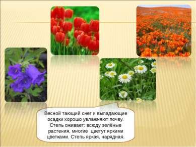 Весной тающий снег и выпадающие осадки хорошо увлажняют почву. Степь оживает:...