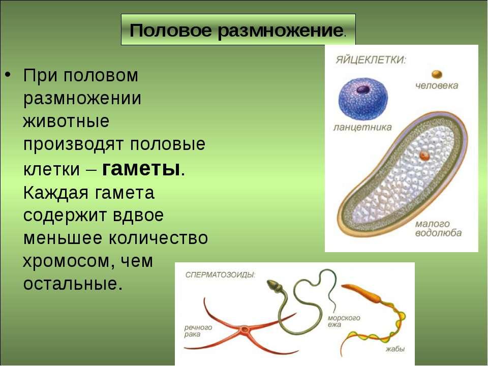 Половое размножение. При половом размножении животные производят половые клет...