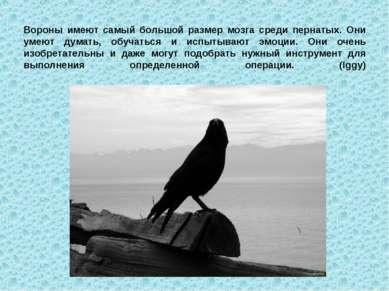 Вороны имеют самый большой размер мозга среди пернатых. Они умеют думать, обу...