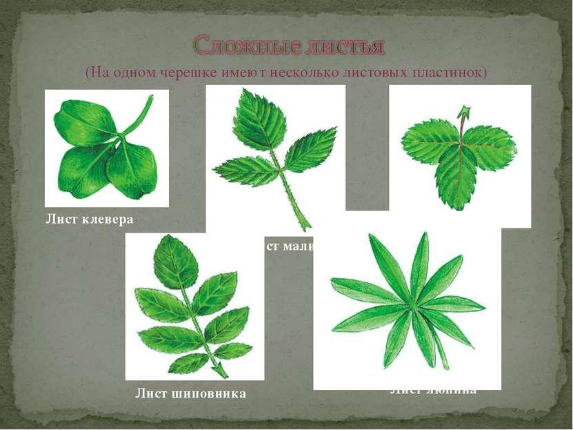 (На одном черешке имеют несколько листовых пластинок) Лист клевера Лист малин...