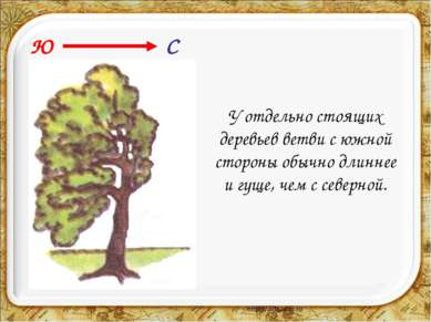 У отдельно стоящих деревьев ветви с южной стороны обычно длиннее и гуще, чем ...