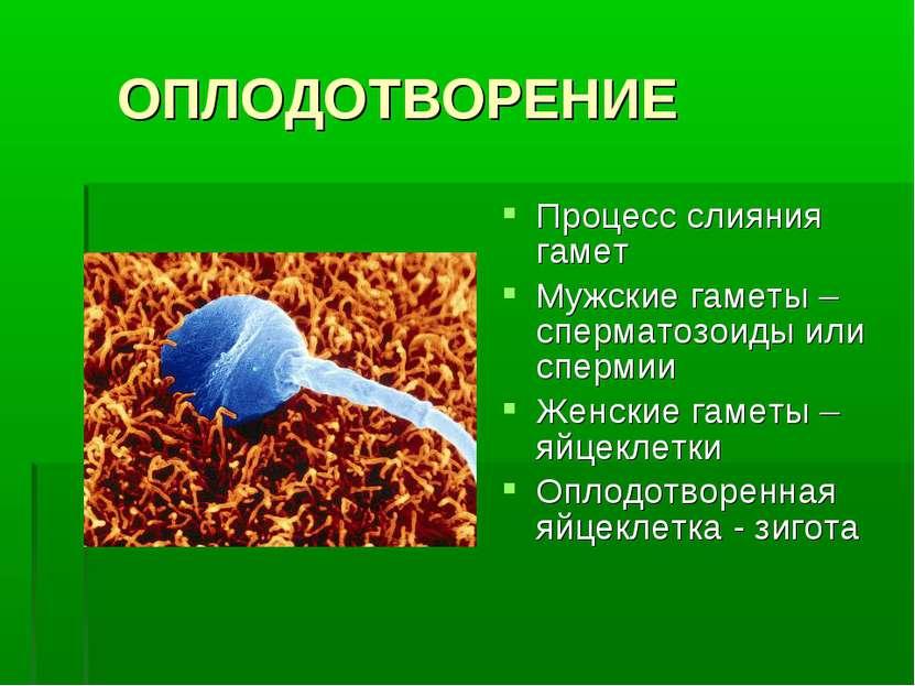 ОПЛОДОТВОРЕНИЕ Процесс слияния гамет Мужские гаметы – сперматозоиды или сперм...